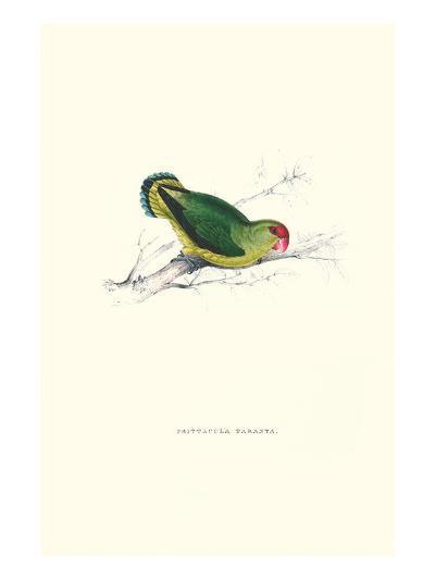 Abyssinian Parakeet - Agapornis Taranta-Edward Lear-Art Print