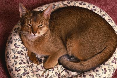 Abyssinian Ruddy Cat Lying on Cushion-DLILLC-Photographic Print