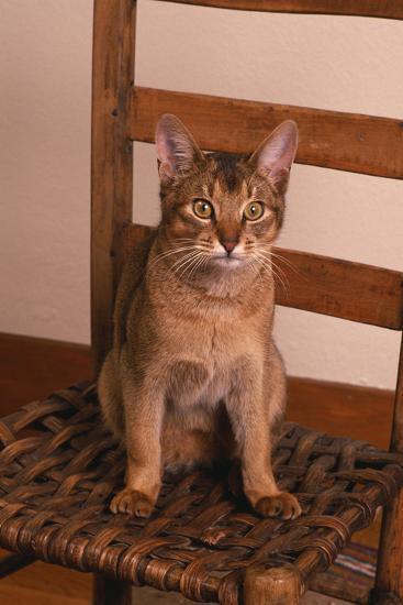 Abyssinian Ruddy Cat Sitting on Chair-DLILLC-Photographic Print