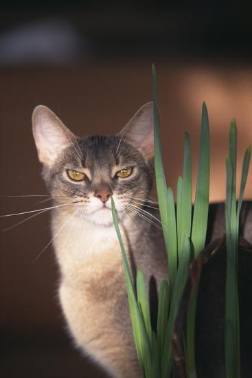Abyssinian Ruddy Cat Sniffing Plant-DLILLC-Photographic Print