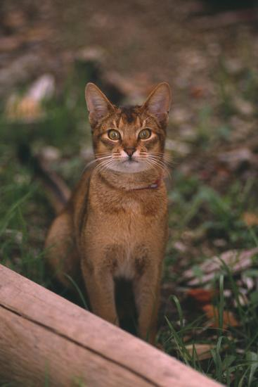 Abyssinian Ruddy Cat-DLILLC-Photographic Print