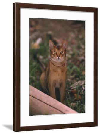 Abyssinian Ruddy Cat-DLILLC-Framed Photographic Print