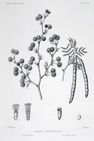 Acacia Tortuosa (Twisted Acacia)-Charles Edward Faxon-Giclee Print