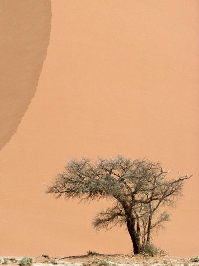 Acacia Tree Dwarfed by an Immense Sand Dune at Sunset-Jason Edwards-Photographic Print