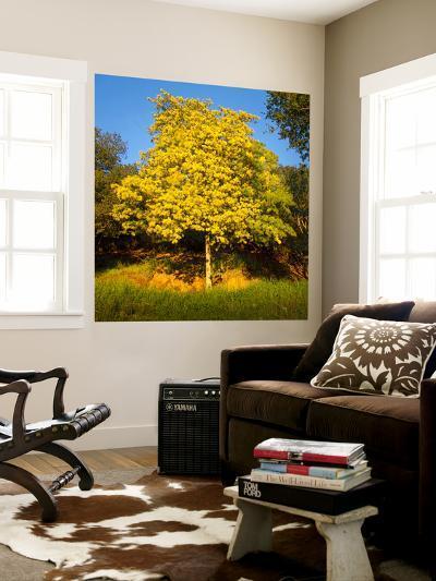 Acacia Tree in Bloom, Oakland, CA (Yellow Flowering Tree)-Henri Silberman-Wall Mural