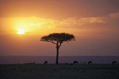 Acacia Trees at Sunset, Mara River, Maasai Mara, Kenya, Africa-Design Pics Inc-Photographic Print