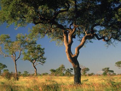 acacia trees, kruger national park, south africa photographic printacacia trees, kruger national park, south africa photographic print by walter bibikow art com