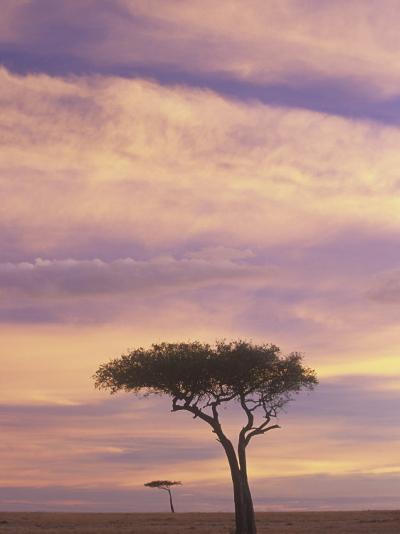 Acacia Trees Silhouetted at Twilight on the Savanna, Masai Mara Game Refuge, Kenya, Africa-Adam Jones-Photographic Print