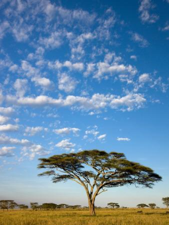 https://imgc.artprintimages.com/img/print/acacia-trees-under-blue-sky-with-clouds_u-l-pd6xe10.jpg?p=0
