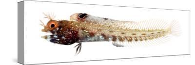 Acanthemblemaria Aspera Male