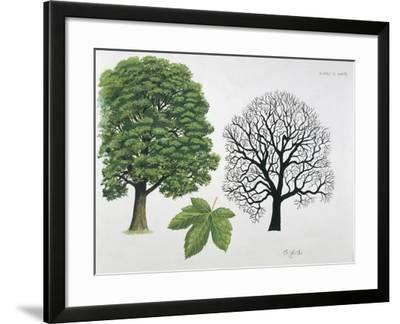 Aceraceae Family - Sycamore Maple Acer Pseudoplatanus - Illustration--Framed Giclee Print