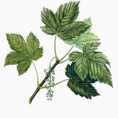 Aceraceae, Leaves of Sycamore Maple Acer Pseudoplatanus--Giclee Print