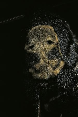 Acherontia Atropos (Death's Head Hawk Moth) - Detail-Paul Starosta-Photographic Print