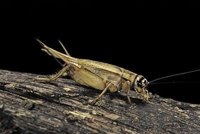 Acheta Domesticus (House Cricket)-Paul Starosta-Photographic Print