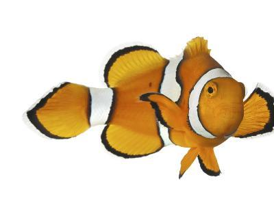 Acidified Water Impairs Clownfish Sense of Smell-David Liittschwager-Photographic Print