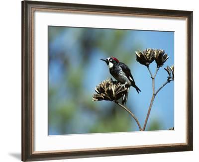 Acorn Woodpecker (Melanerpes Formicivorus) Perching on Branch, Arizona, Usa-Jeff Foott-Framed Photographic Print
