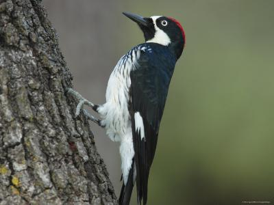 Acorn Woodpecker Pauses-George Grall-Photographic Print