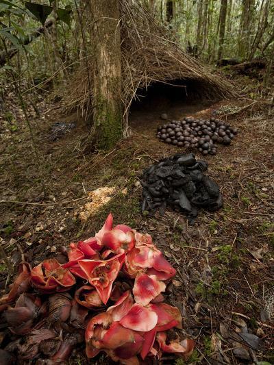 Acorns, Black Fungi and Pandanus Flowers Lead to a Vogelkop's Bower-Tim Laman-Photographic Print