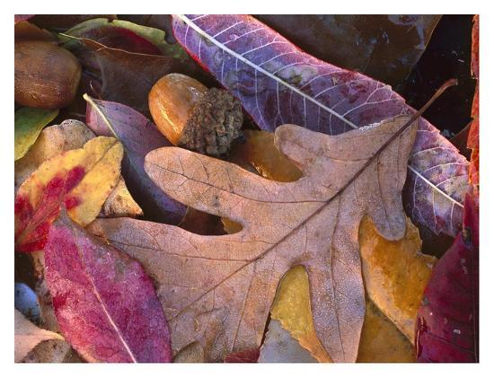 Acorns, Oak, Cherry and Sumac, fall, Petit Jean State Park, Arkansas-Tim Fitzharris-Art Print