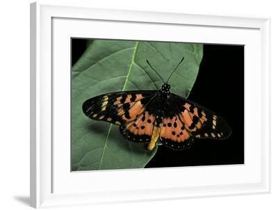 Acraea Insularis (Brush-Footed Butterfly)-Paul Starosta-Framed Photographic Print