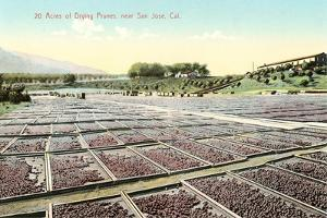 Acres of Drying Prunes