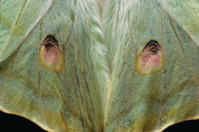 Actias Selene (Indian Moon Moth, Indian Luna Moth) - Wings Detail-Paul Starosta-Photographic Print