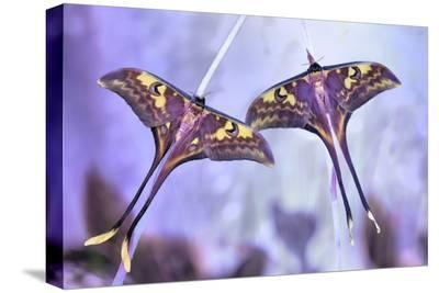Actias-Jimmy Hoffman-Stretched Canvas Print