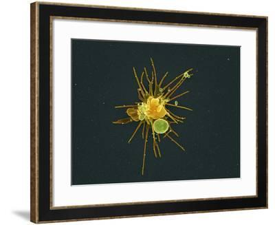 Activated Platelet, SEM-Science Photo Library-Framed Photographic Print