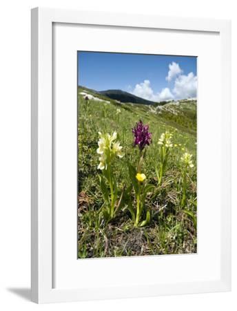 Actylorhiza Sambucina-Paul Harcourt Davies-Framed Photographic Print