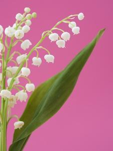 Lily of the valley by Ada Summer