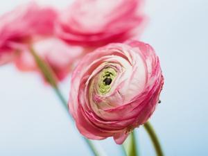 Pink ranunculus by Ada Summer