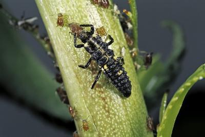 Adalia Bipunctata (Twospotted Lady Beetle) - Larva Devouring Aphids-Paul Starosta-Photographic Print