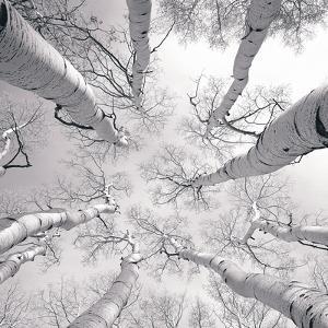 Silver Birch by Adam Brock