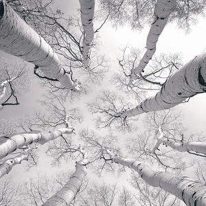 Silver Birch by Adam Brock
