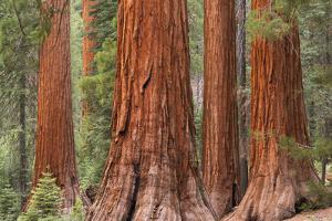 Bachelor and Three Graces Sequoia tress in Mariposa Grove, Yosemite National Park, USA. Spring (Jun by Adam Burton