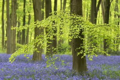Bluebells and Beech Trees in West Woods, Wiltshire, England. Spring (May)
