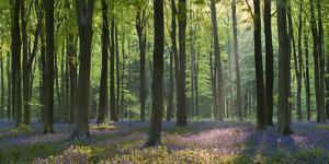 Bluebells and Beech Trees, West Woods, Marlborough, Wiltshire, England. Spring (May) by Adam Burton