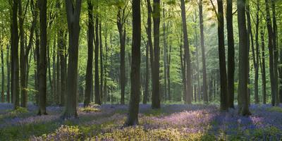 Bluebells and Beech Trees, West Woods, Marlborough, Wiltshire, England. Spring (May)