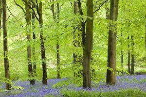 Common Bluebells (Hyacinthoides Non-Scripta) Flowering in a Beech Wood by Adam Burton