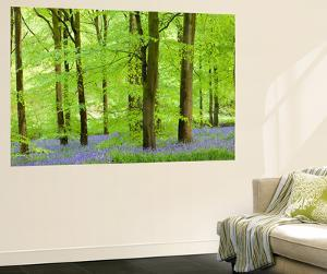 Common Bluebells (Hyacinthoides Non-Scripta) Flowering in a Beech Wood by Adam Burton