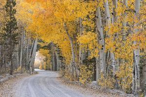 Dirt Road Winding Through a Tree Tunnel, Bishop, California, USA. Autumn (October) by Adam Burton