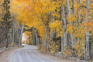 Dirt Road Winding Through a Tree Tunnel, Bishop, California, USA. Autumn (October) by Adam Burton