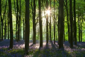 Early Morning Sunlight in West Woods Bluebell Woodland, Lockeridge, Wiltshire, England. Spring by Adam Burton