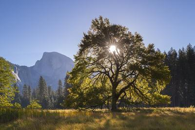 Half Dome and Elm Tree in Cooks Meadow, Yosemite Valley, California, USA. Autumn (October)