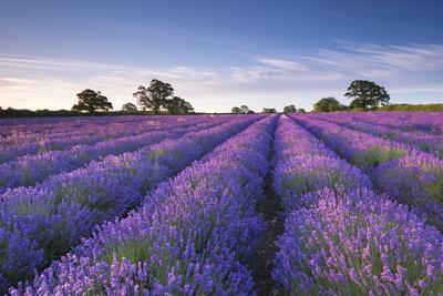 Lavender Field at Dawn, Somerset, England. Summer (July)