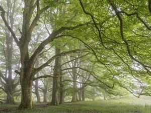 Mature beech trees in spring morning mist, Dartmoor National Park, Devon, England. Spring (May) 201 by Adam Burton