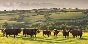 North Devon Red Ruby Cattle Herd Grazing in the Rolling Countryside, Black Dog, Devon by Adam Burton