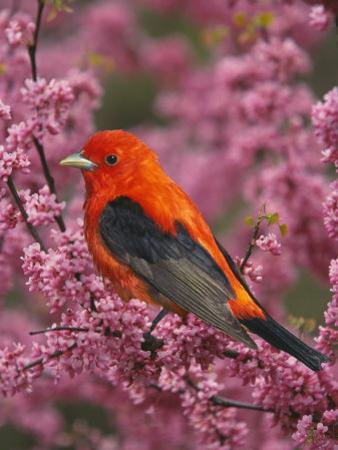 A Male Scarlet Tanager, Piranga Olivacea, in a Flowering Redbud Tree, Eastern USA