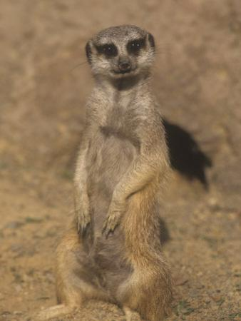 A Meerkat Lookout Near its Den Opening, Suricata Suricatta, Southern Africa