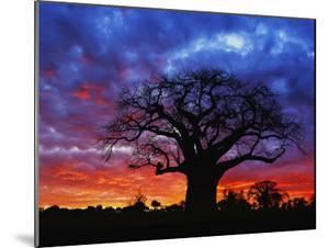 African baobab tree, Tarangire National Park, Tanzania by Adam Jones